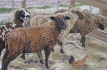Grafton Sheep, 24 x 36