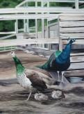 Peacock Family, 30 x 40