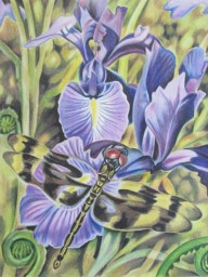 Dragonfly with Iris