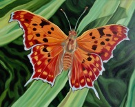 Question Mark Butterfly, 16 x 20 inches